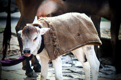 Cow, Animal, Livestock, Cattle, Nature, Agriculture