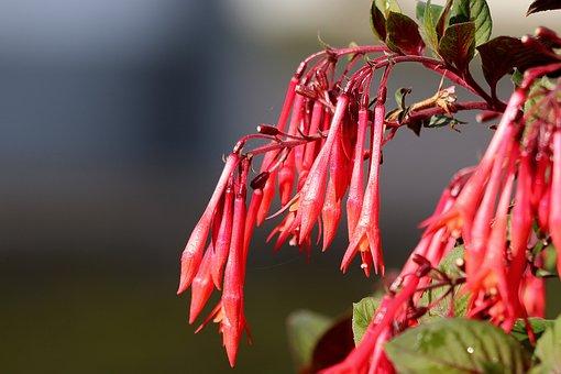 Fuchsia, Flowers, Red, Ornamental Plant, Close Up