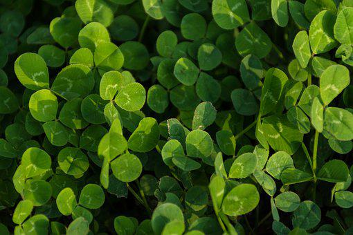 Clover, Green Background, Clover Meadow