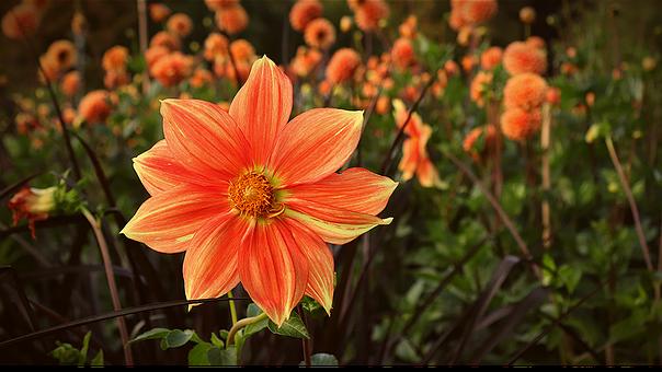 Orange Flower, Orange Blossom, Field Of Flowers