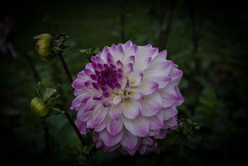 Dahlia, Nature, Blossom, Bloom, Flower, Garden Plant