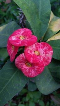 Flower, Poi Sian Flower, Flowers, The Pink Flowers