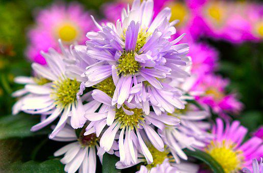 Asters, Autumn, Flowers, Blossom, Bloom, Nature, Flora