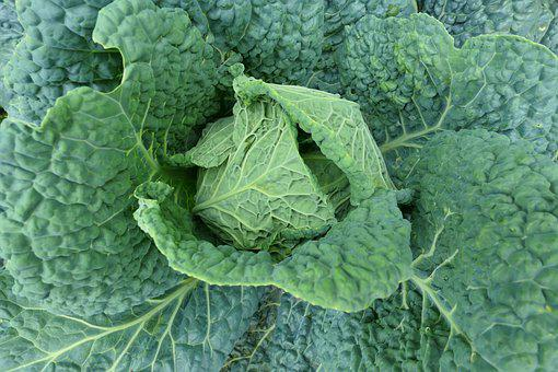 Cabbage, Italian, Foliage, A Vegetable, Food, Green