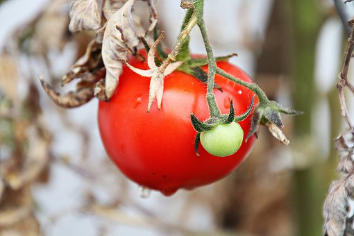 Tomato, Tomatoes, Food, Vegetables, Red, Healthy, Fresh