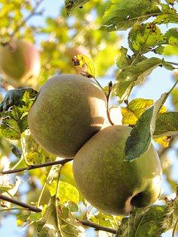 Apple, Fruit, Fruits, Healthy, Vitamins, Food, Garden