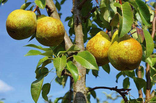 Pears, Fruit, Fruit Tree, Leaves, Healthy, Nature