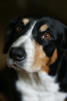 Entlebucher, Dog, Eyes, Portrait, Animals, Head, Fur