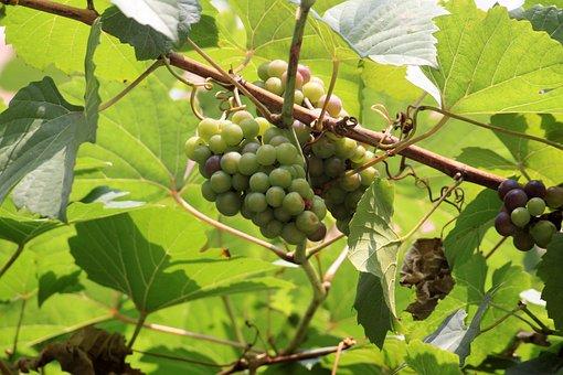 Grapes, Grape Vines, Vine, Ceongpodo, Wipes, Leaf