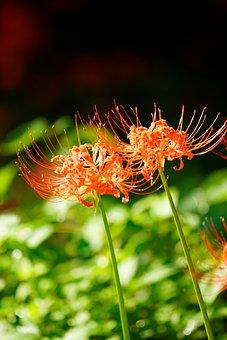 Synchronization, Lycoris Squamigera, Red, Flower