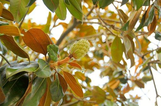 Leaves, Tree, Magnolia, Fruit, Nature, Trees, Plants