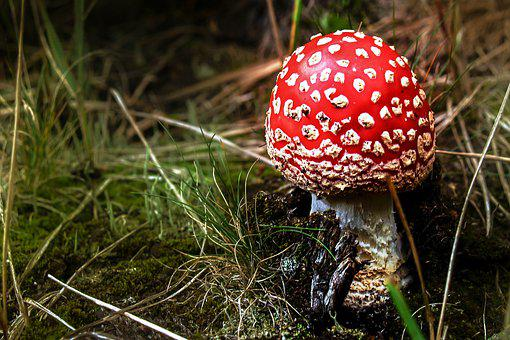 Mushroom, Amanita, Forest, Red, Toxic, In The Fall