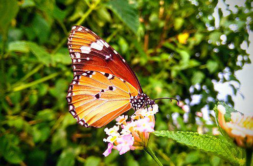 Butterfly, Flower, Nature, Insect, Animal, Butterflies