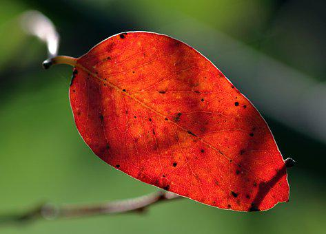 Red, Leaf, Autumn, Nature, Color, Tree, Colorful, Fall