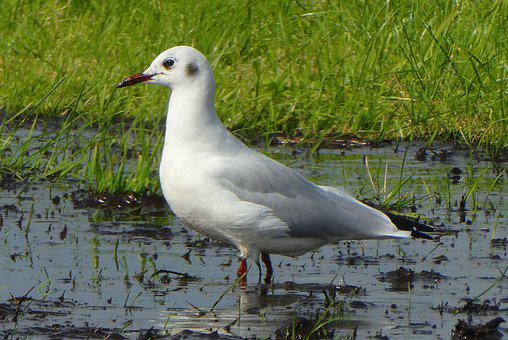 Seagull, Food, Water, Ditch, Animal, Nature, Wings