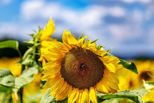 Sunflower, Summer, Sun, Nature, Flower, Blossom, Bloom