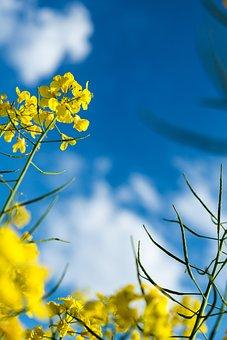 Blue Sky, Oilseed Rape, Palatinate, Plant, Summer