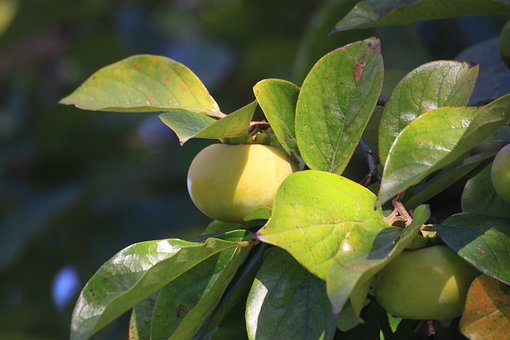 Persimmon, Plants, Autumn, Fruit, Nature, Wood