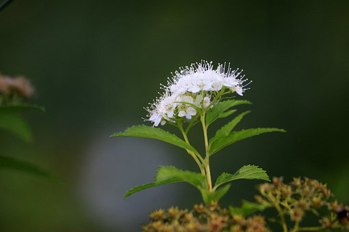 White Flowers, Flowers, Autumn, Wildflower, Plants