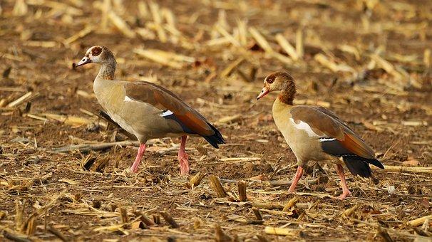 Nilgans, Wild Goose, Geese, Goose, Plumage, Bird