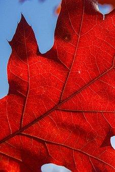 Leaf, Foliage, Autumn, Red, Nature, Colorful