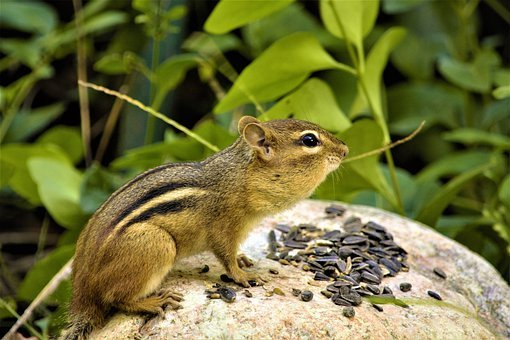 Chipmunk, Striped, Furry, Cute, Eating, Seeds