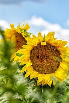 Sunflower, Summer, Sun, Nature, Flower, Blossom, Bloom