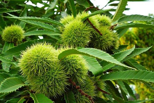 Chestnut, Edible, Barbed, Fruit, Tree, Food, Sweet