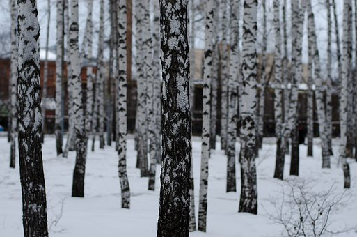 Birch, Park, Russia, Tree, Landscape, Forests, Spring