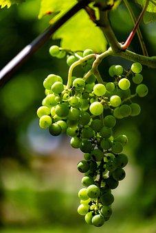Vintage, Wine, Wingert, White Wine, Grapes, Autumn