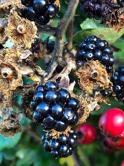 Blackberry, Blackberries, Autumn, Fresh, Wild, Fruit