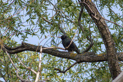 Starling, Bird, Birds, Wingtip Toys, Beak, Feather