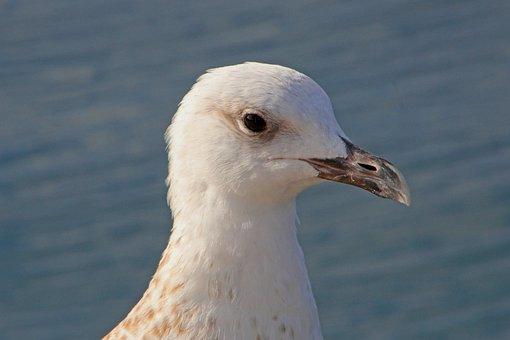 Seagull, Croatia, Animal, Bird, Bill