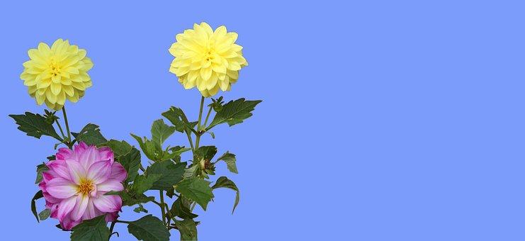 Flowers, Dahlia, Bloom, Garden, Blossom, Header
