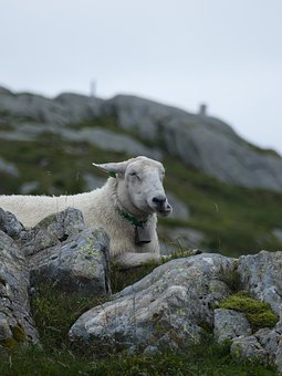 Mountain Sheep, Wool, Chew, Norway, Ulriken, Stones