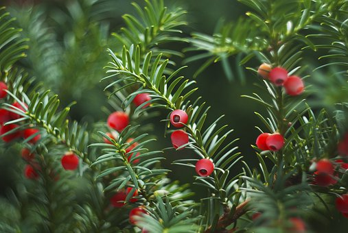 Yew, Crop, Berry, Conifer, Red, Wood