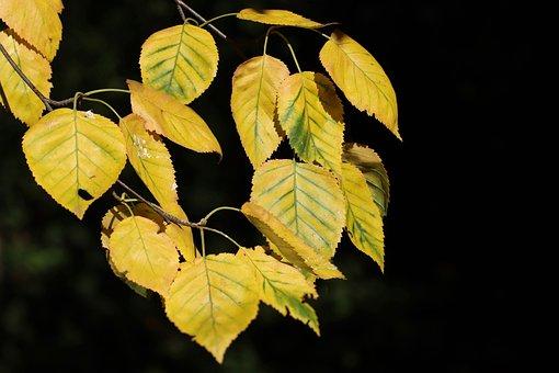 Birch, Firs, Autumn, Fall Foliage, Fall Color, Yellow