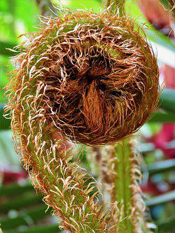 Fiddlestick, Fern, Furry, Plant, Curled, Nature