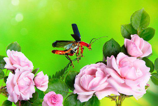 The Beetle, Insect, Soars, Flight, Start, Roses, Garden