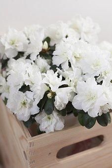 Azalea, Flower, Spring, Flowering, Plant, Bright, White