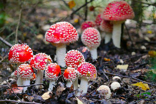 Fly Agaric, Mushroom, Nature, Landscape, Forest, Meadow