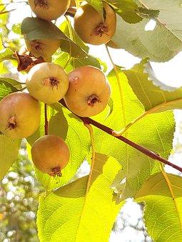 Apple, Garden, Tree, Apples, Fruit, Fresh, Food, Green