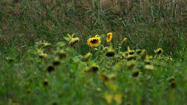 Glade, Meadow, Nature, Grass, Forest, Green, Sunflower