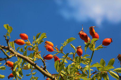 Rosehip, Fruit, Nature, Plant, Autumn, Healthy, Leaves