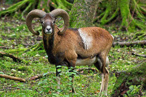 Mouflon, Wild Sheep, Nature, Forest, Mammal, Horns