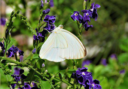 Butterfly, White, Wing, Nature, Insect, Flower, Nectar