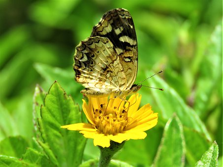 Butterfly, Yellow, Flower, Insect, Bug, Wing, Feeding