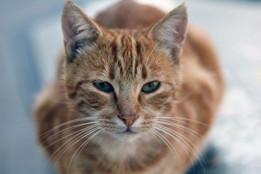 Cat, Animal, Pet, Kitten, Fur, Portrait, Nature, Tiger