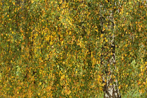 Birch, Autumn, Leaves, Nature, Tree, Fall, Outdoors
