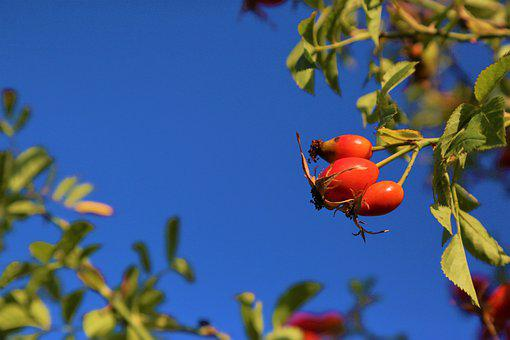 Rosehip, Fruit, Plant, Nature, Autumn, Healthy, Leaves